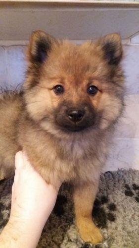 german spitz mittel puppy