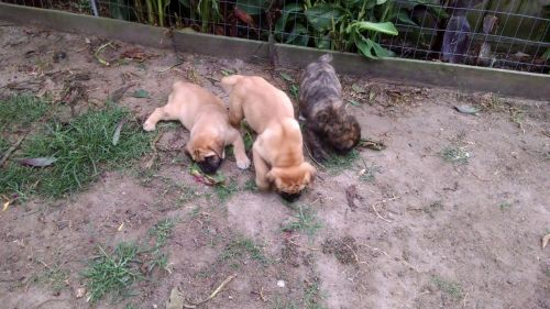 giant maso mastiff puppies