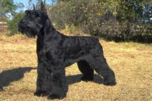 Giant Schnauzer Vs Labrador Retriever