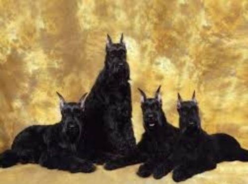 giant schnauzer dogs