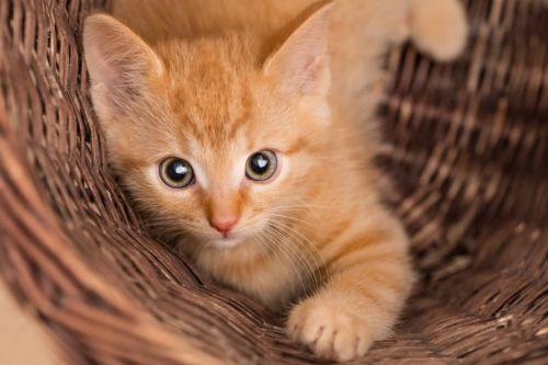 ginger tabby kitten
