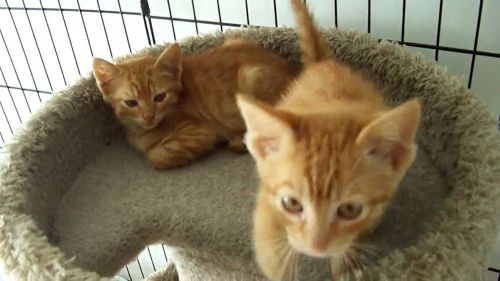 ginger tabby kittens
