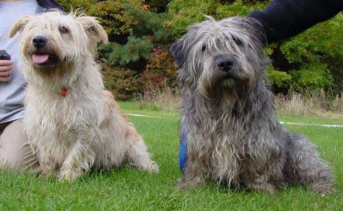 glen of imaal terrier dogs