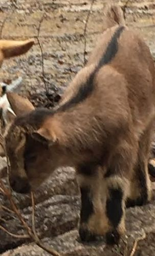 Goat Animals for sale in Long Rd, Watkinsville, GA 30677, USA. price 150USD