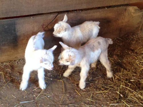 Goat Animals for sale in Kansas City, KS, USA. price 400USD
