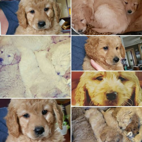 Golden Doodle Puppies for sale in New York, NY, USA. price -USD