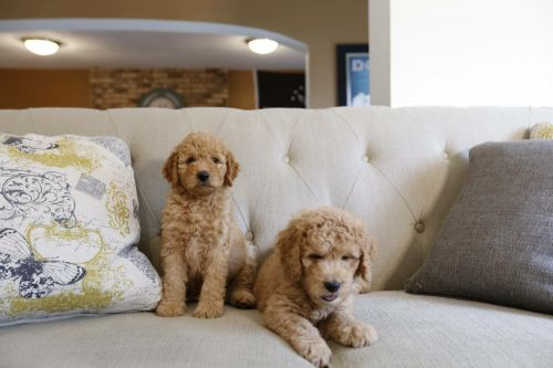 Golden Doodle Puppies for sale in Palm City, FL, USA. price 2000USD