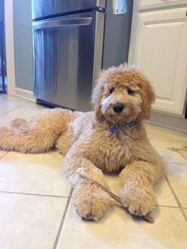 Golden Doodle Puppies for sale in Cleveland, OH, USA. price 800USD