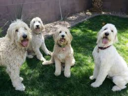 golden doodle dogs