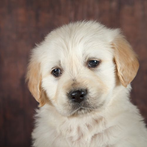 Golden Retriever Puppies for sale in Fort Wayne, IN, USA. price 1495USD