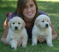 Golden Retriever Puppies for sale in West Chicago, IL 60185, USA. price 300USD
