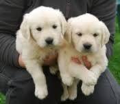 Golden Retriever Puppies for sale in Austin, TX 73301, USA. price 300USD