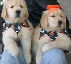 Golden Retriever Puppies for sale in Colorado Springs, CO 80901, USA. price 300USD
