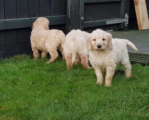 Golden Retriever Puppies for sale in Maryland Ave, Rockville, MD 20850, USA. price 450USD