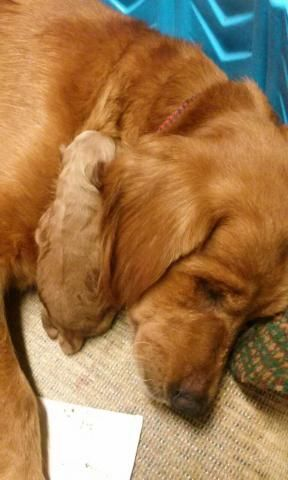 Golden Retriever Puppies for sale in Richmond, TX, USA. price 1000USD