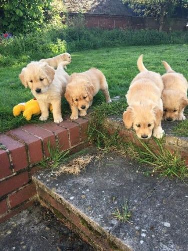 Golden Retriever Puppies for sale in PA-18, Albion, PA, USA. price 300USD