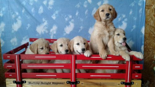 Golden Retriever Puppies for sale in New Haven, IN, USA. price 1100USD