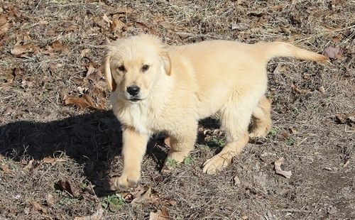 Golden Retriever Puppies for sale in Louisville, KY, USA. price 400USD
