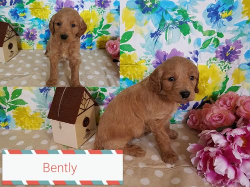 Goldendoodle Puppies for sale in Fort Wayne, IN, USA. price 950USD