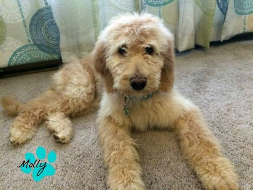 Goldendoodle Puppies for sale in Cleveland, OH, USA. price 800USD