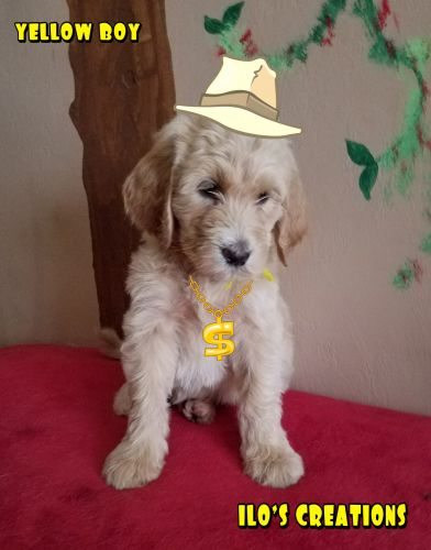 Goldendoodle Puppies for sale in Cape Coral, FL 33993, USA. price 1200USD