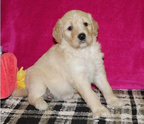 Goldendoodle Puppies for sale in Danville, IL 61832, USA. price 500USD