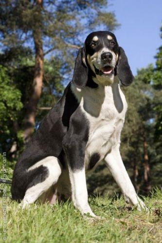 grand anglo francais blanc et noir dog