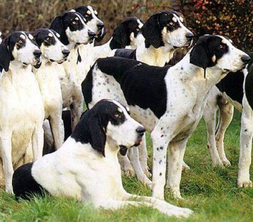 grand anglo francais blanc et noir dogs