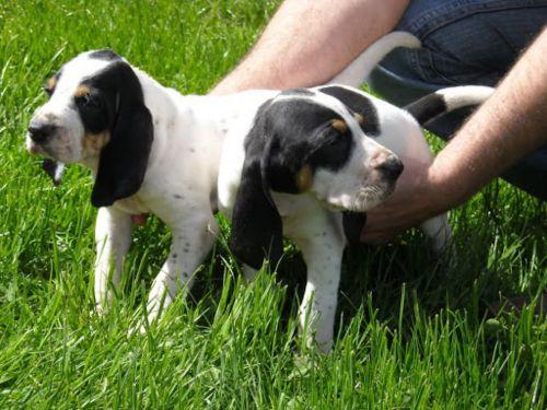 grand anglo francais blanc et noir puppies