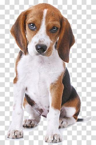 grand anglo francais tricolore puppy