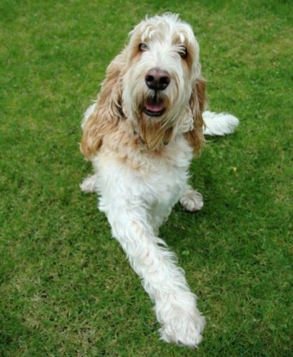 grand basset griffon vendeen dog