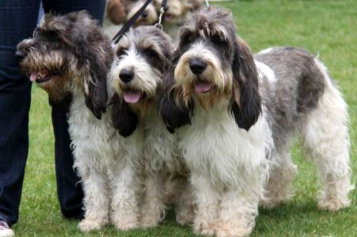 grand basset griffon vendeen dogs