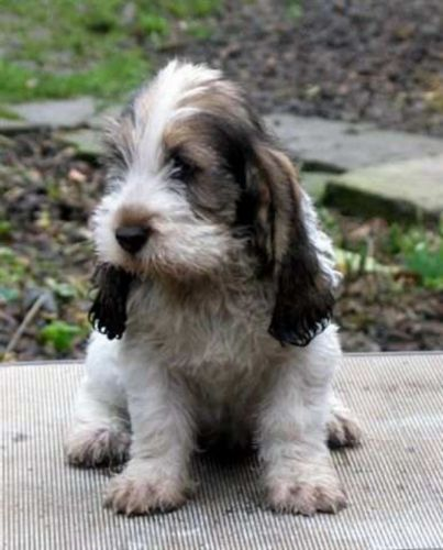 grand basset griffon vendeen puppy