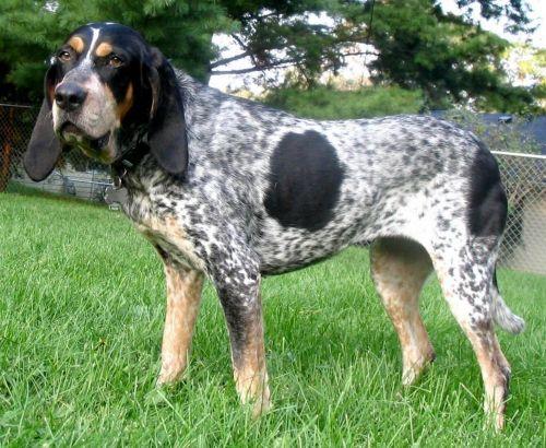 grand bleu de gascogne dog