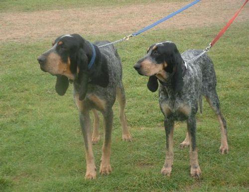 grand bleu de gascogne dogs