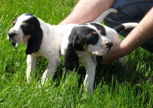 grand gascon saintongeois puppies