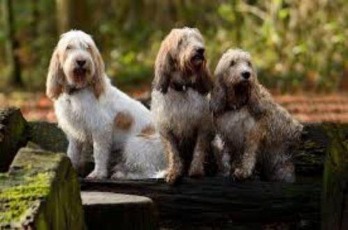 grand griffon vendeen dogs