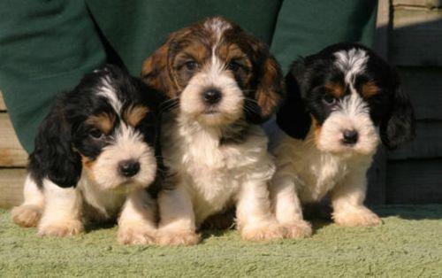 grand griffon vendeen puppies