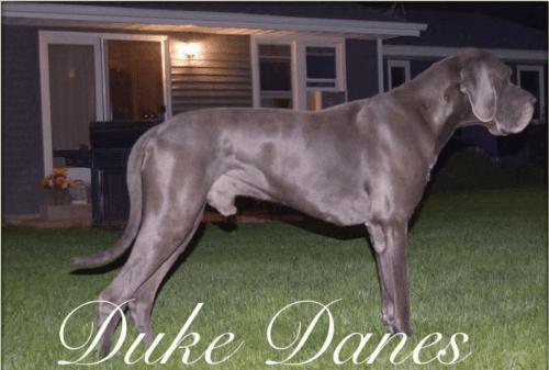 Great Dane Puppies for sale in La Plata, MD 20646, USA. price 1950USD