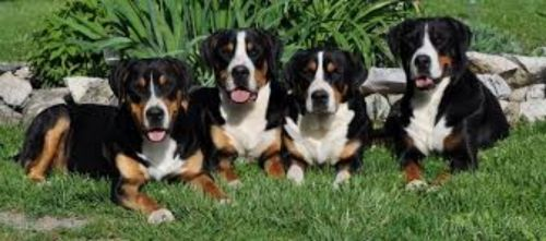 greater swiss mountain dog dogs