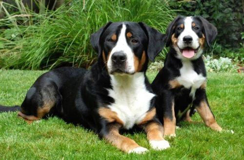 greater swiss mountain dog puppy