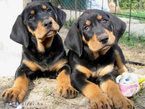 greek harehound puppies