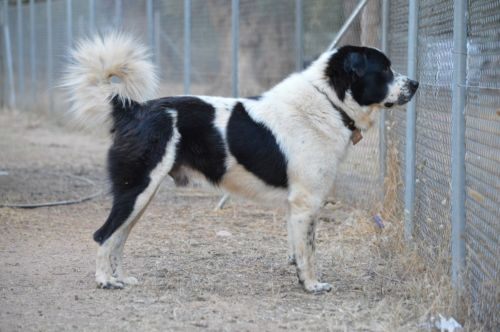 greek sheepdog dog