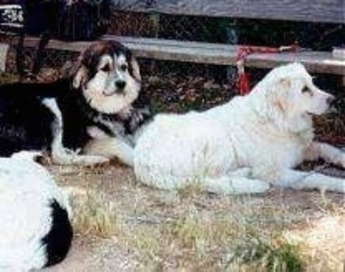 greek sheepdog dogs