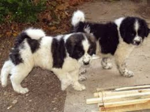 greek sheepdog puppies