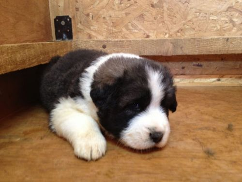 greek sheepdog puppy