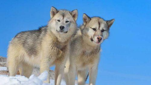 greenland dog dogs