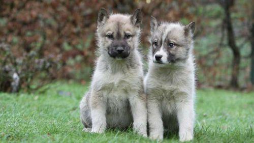 greenland dog puppies