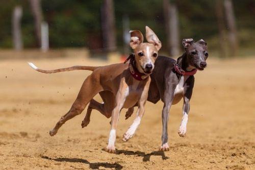 greyhound dogs