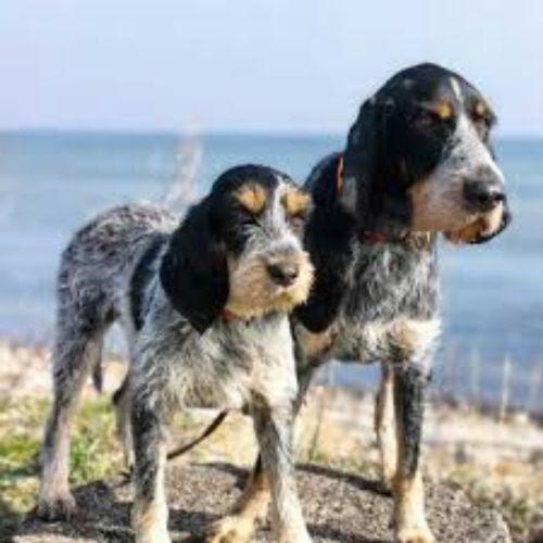 griffon bleu de gascogne dogs